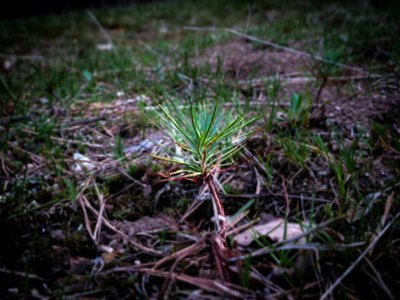 The Effect Of The First Summer On The Natural Regeneration Of Scots Pine In The Sierra De Guadarrama: How Many Are Born? How Many Survive? How Does The Vegetation Cover Affect Them?